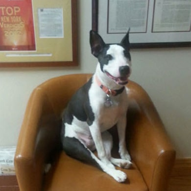 Emma the dog sitting in office chair